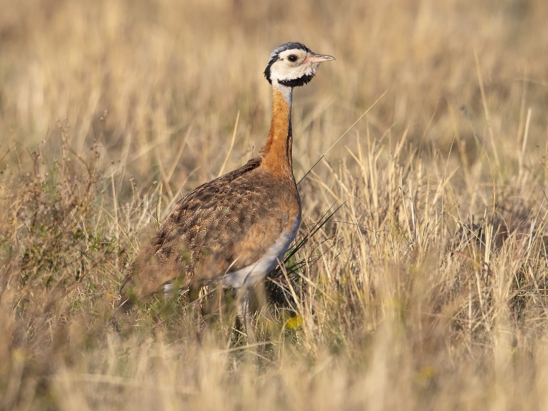 White-bellied Bustard - Niall D Perrins