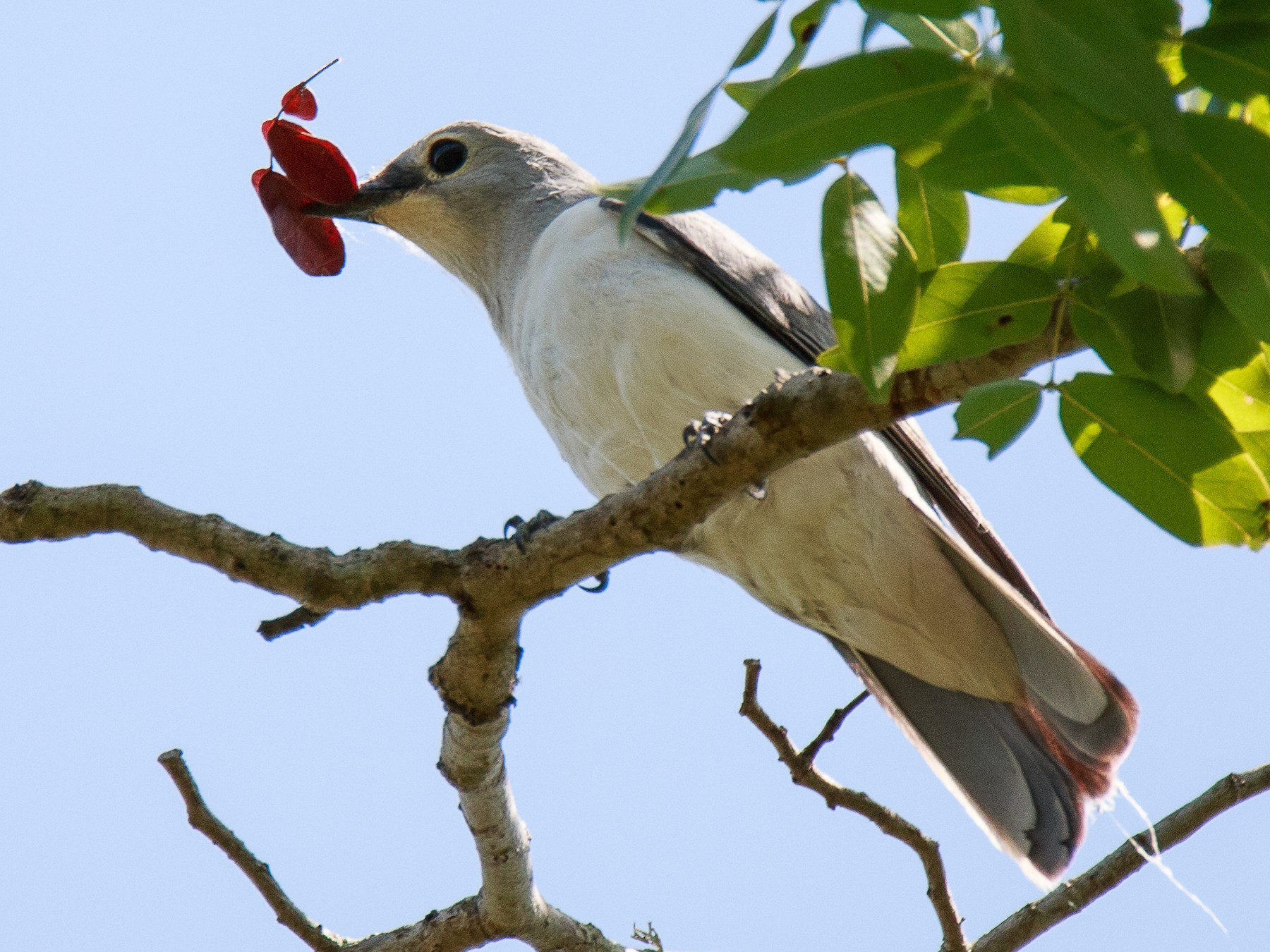 White-breasted Cuckooshrike - Karin Coetzer
