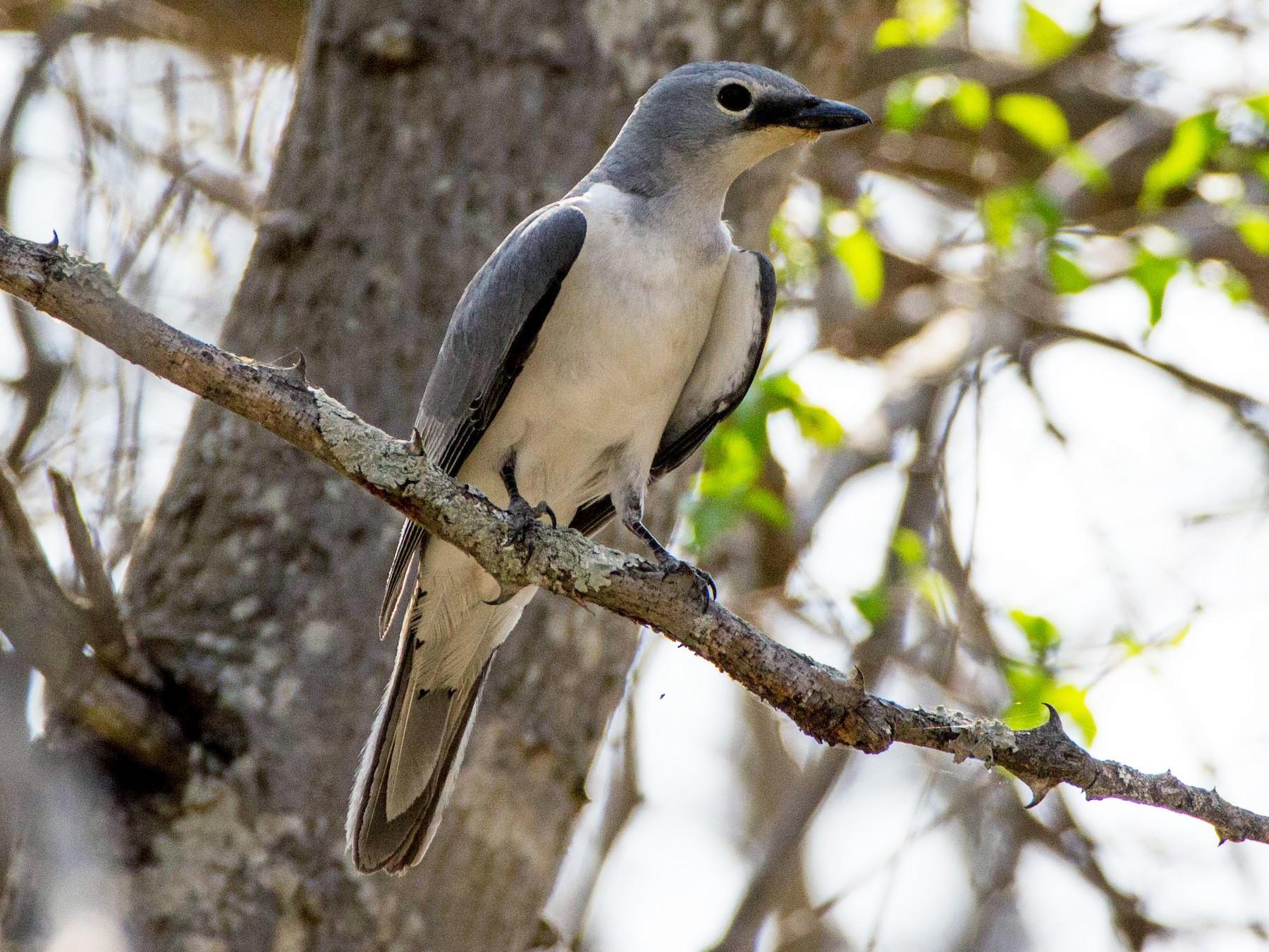 White-breasted Cuckooshrike - Angus Fitton