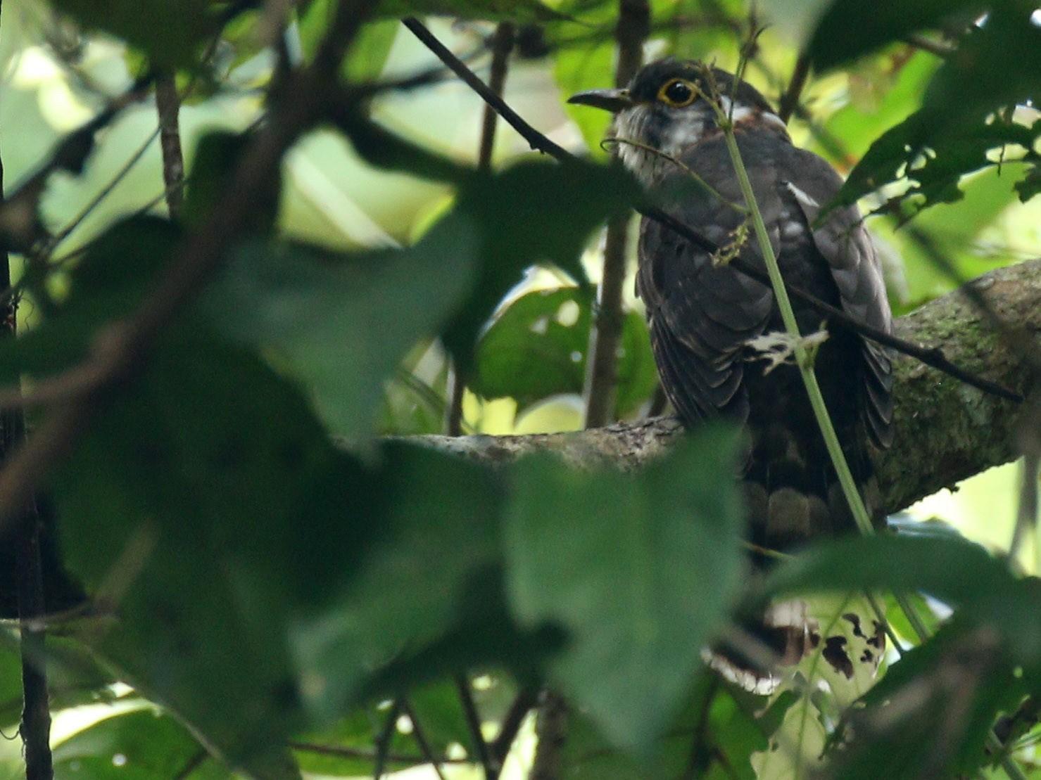 Moustached Hawk-Cuckoo - Alex Berryman