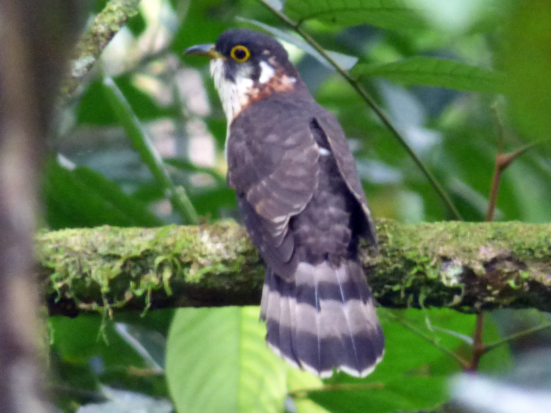 Moustached Hawk-Cuckoo - Scott Winton