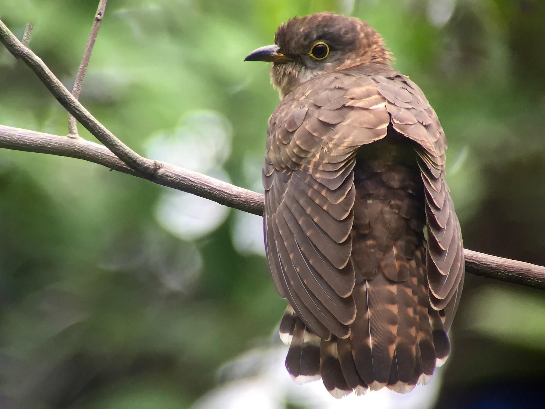 Malaysian Hawk-Cuckoo - Martin Kennewell