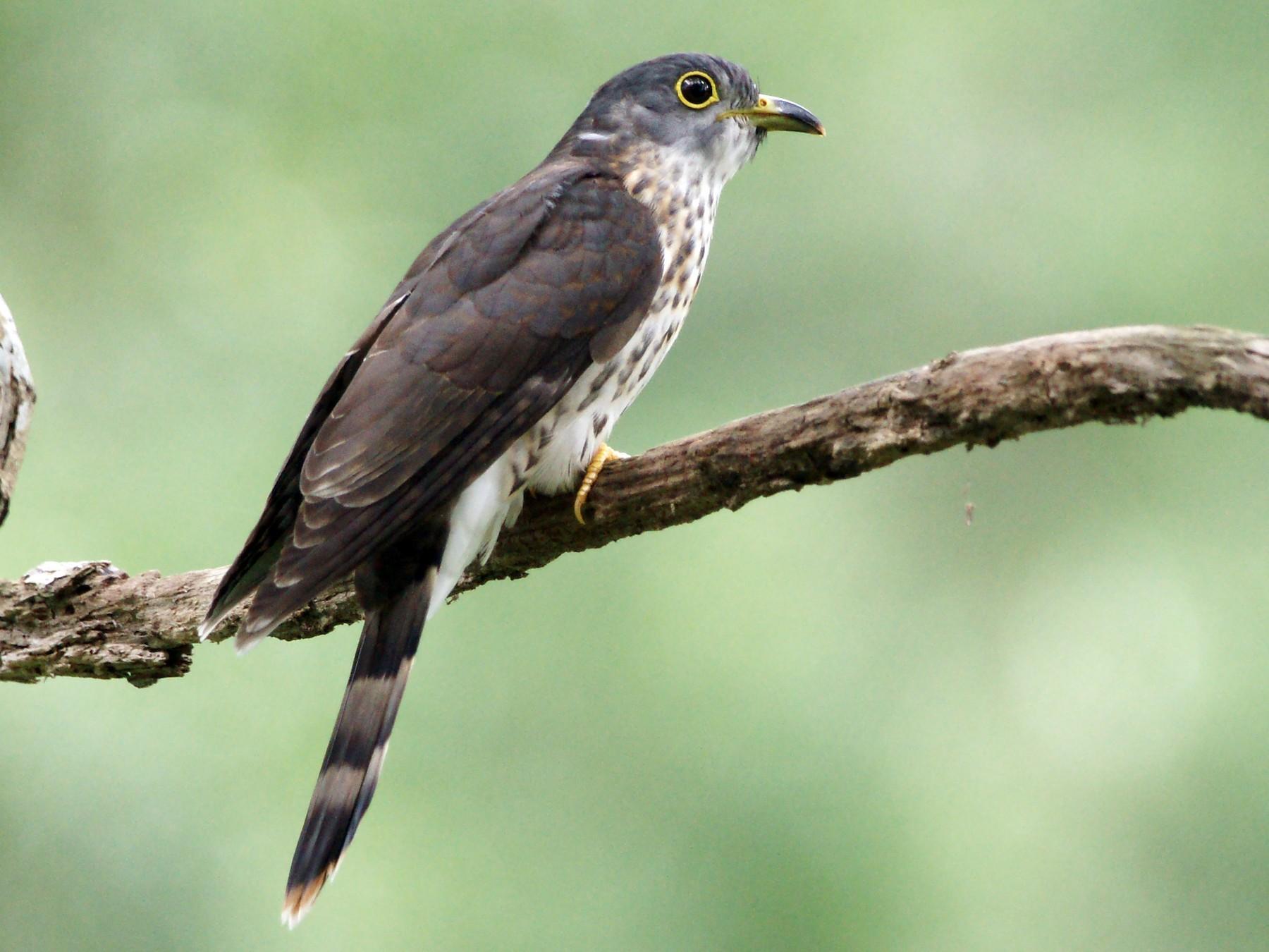 Malaysian Hawk-Cuckoo - Kian Guan Tay