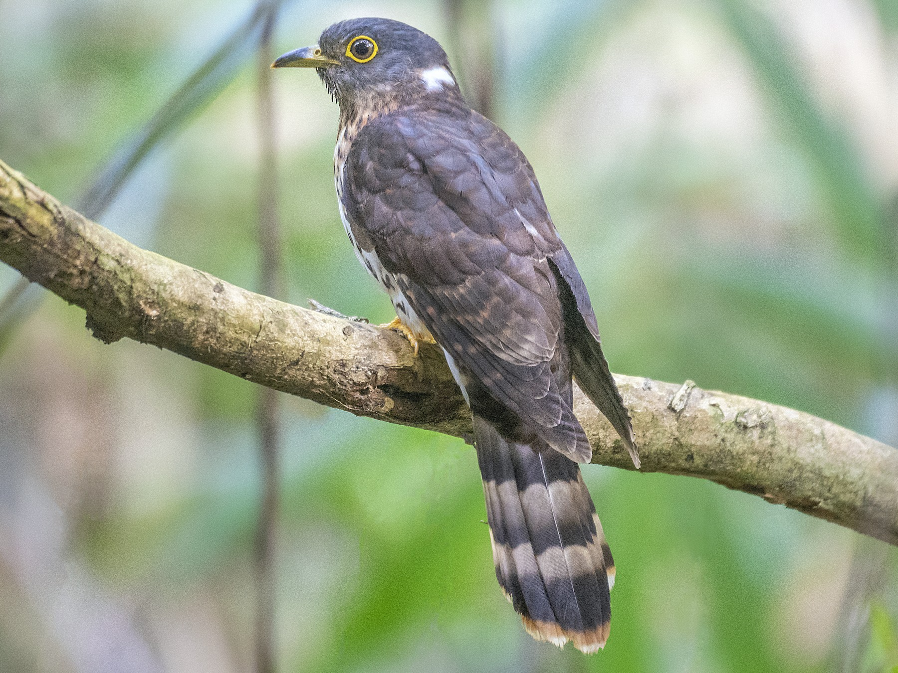 Malaysian Hawk-Cuckoo - John Clough