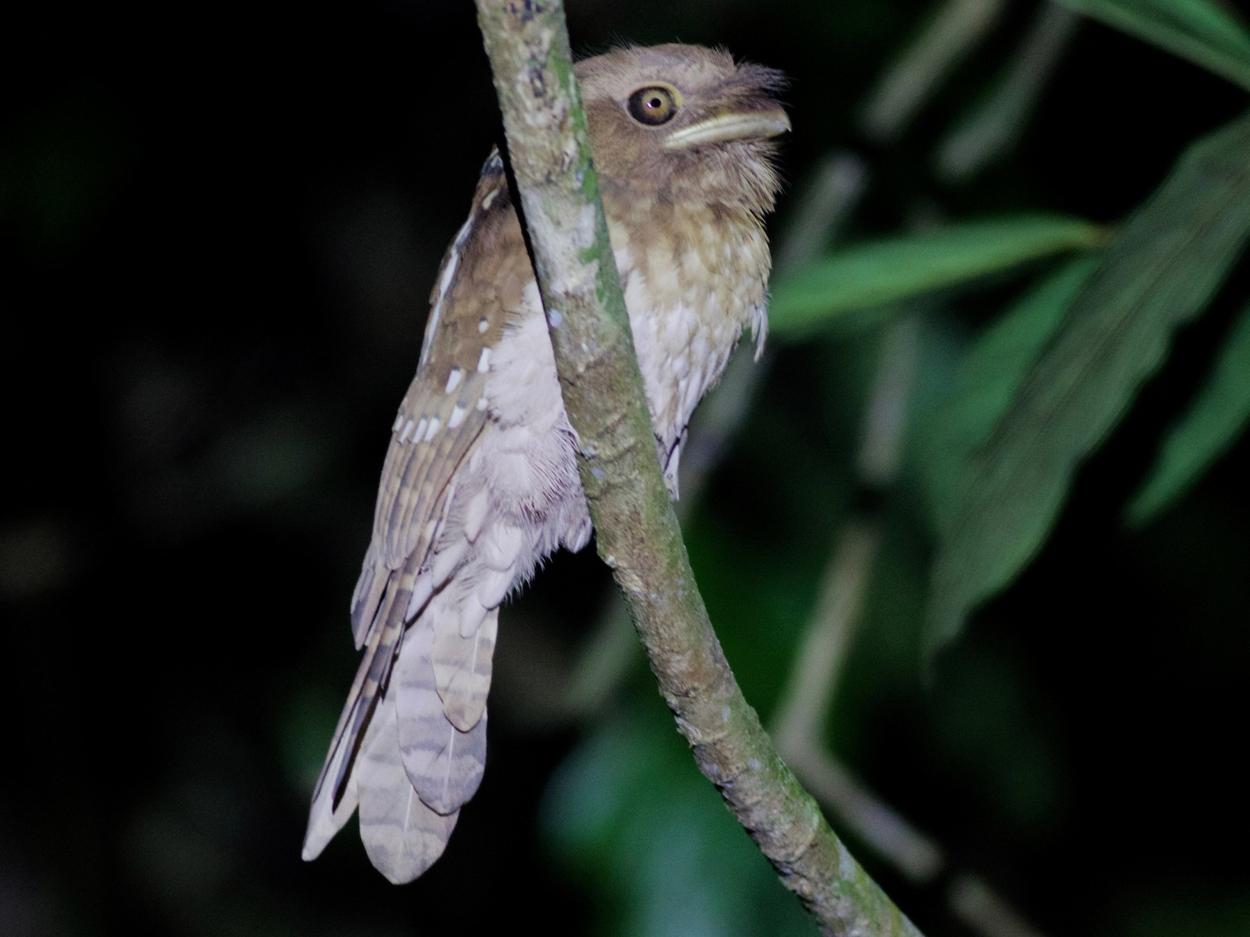 Gould's Frogmouth - Gary Brunvoll