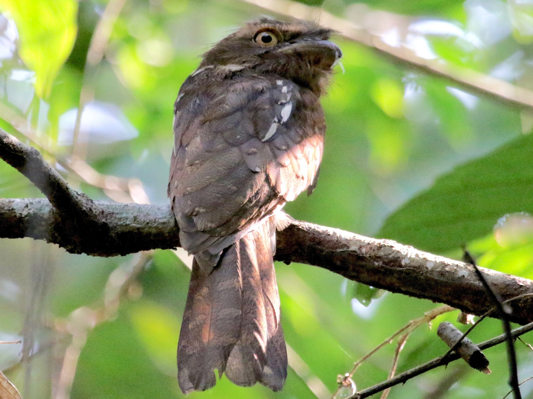 Gould's Frogmouth - Gil Ewing