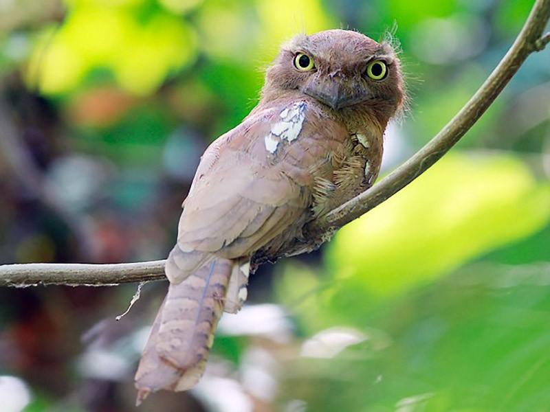 Blyth's Frogmouth - Piyapong Chotipuntu