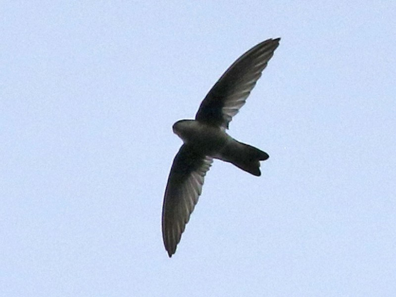 Black-nest Swiftlet - Dave Bakewell