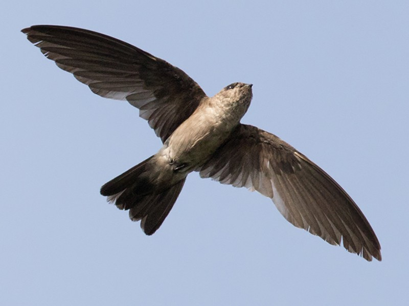 Black-nest Swiftlet - Lars Petersson