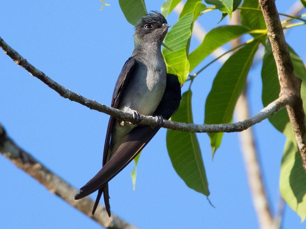 Gray-rumped Treeswift - Ayuwat Jearwattanakanok