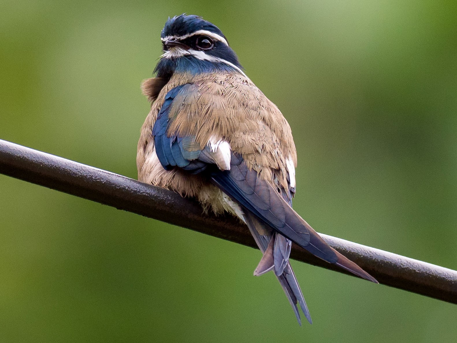 Whiskered Treeswift - Anonymous