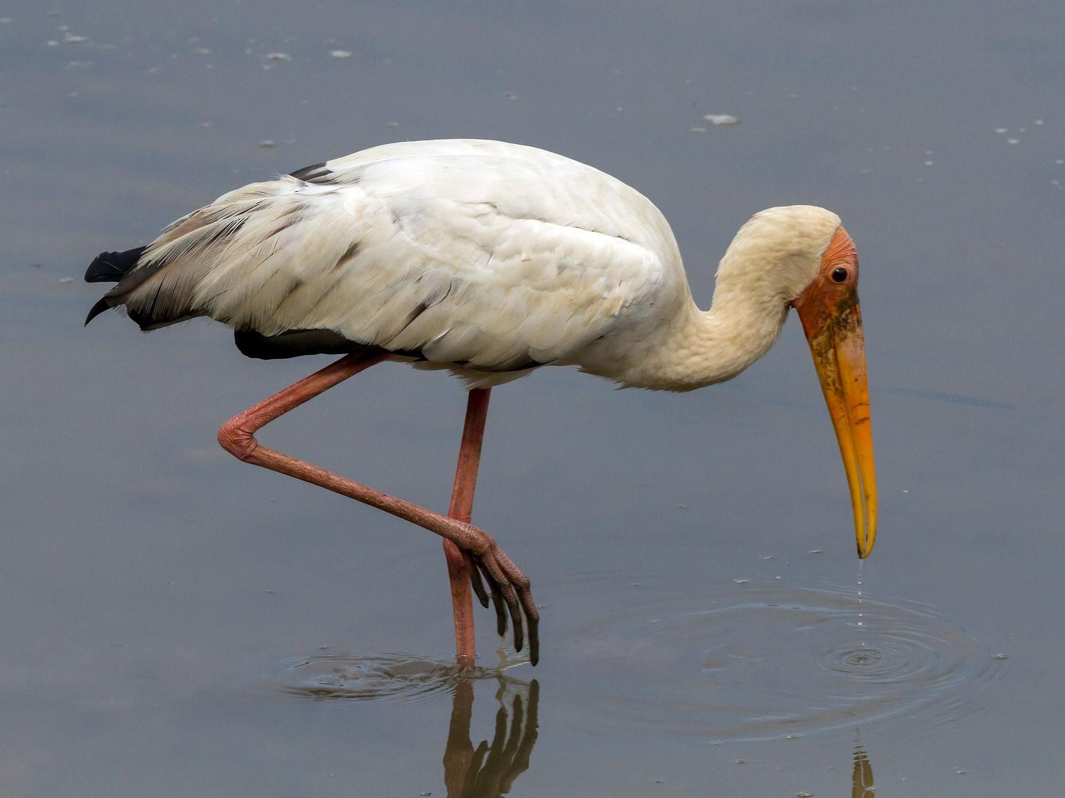 Milky Stork - Graham Possingham