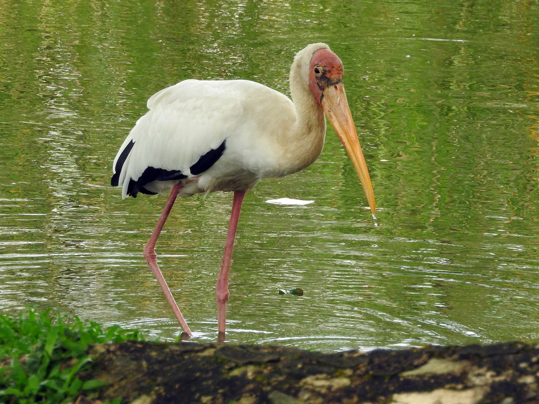 Milky Stork - Sandy Gayasih