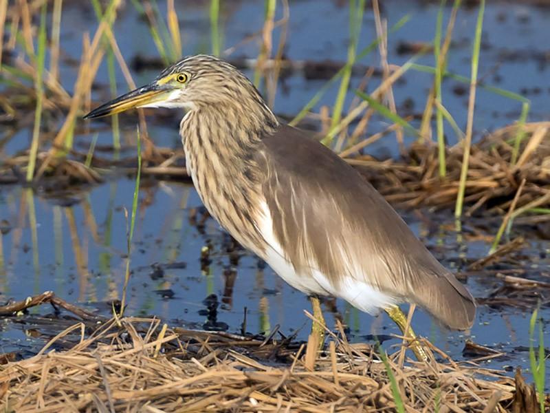 Javan Pond-Heron - Frédéric PELSY