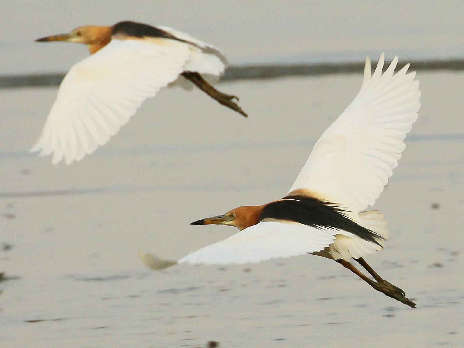 Javan Pond-Heron - Neoh Hor Kee