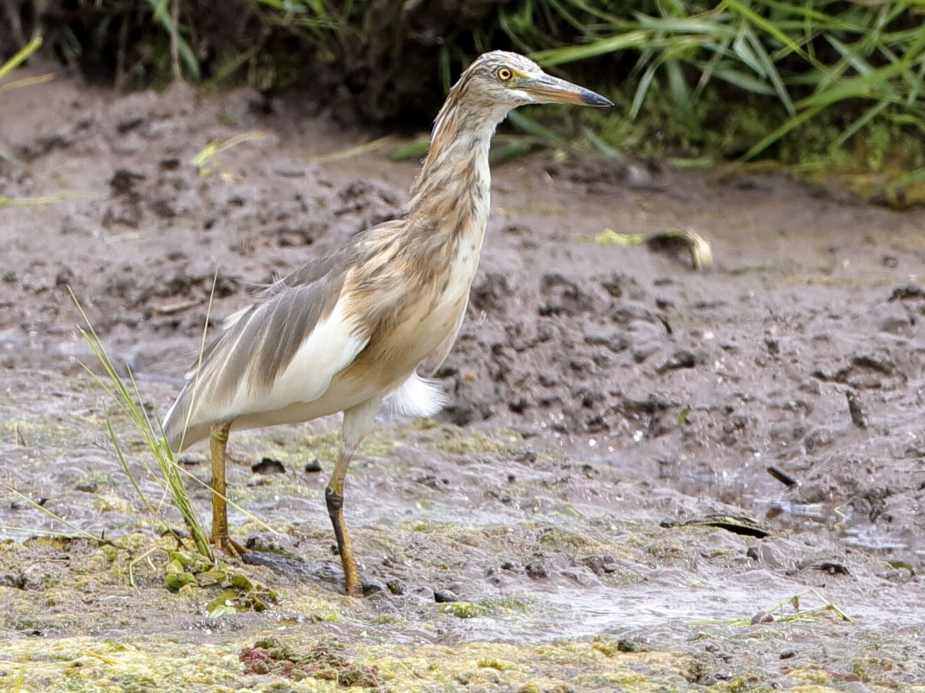 Javan Pond-Heron - Holger Teichmann