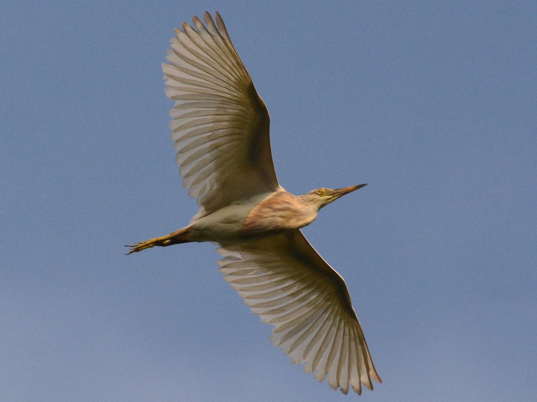 Javan Pond-Heron - Ari Noviyono