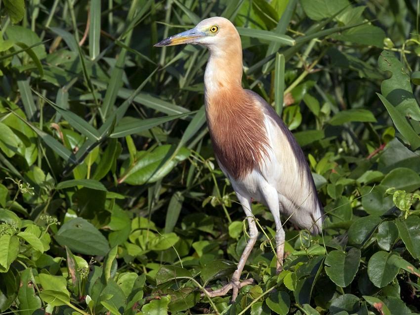 Javan Pond-Heron - Lars Petersson