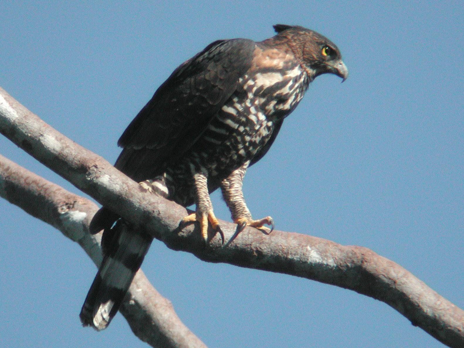 Wallace's Hawk-Eagle - Neoh Hor Kee