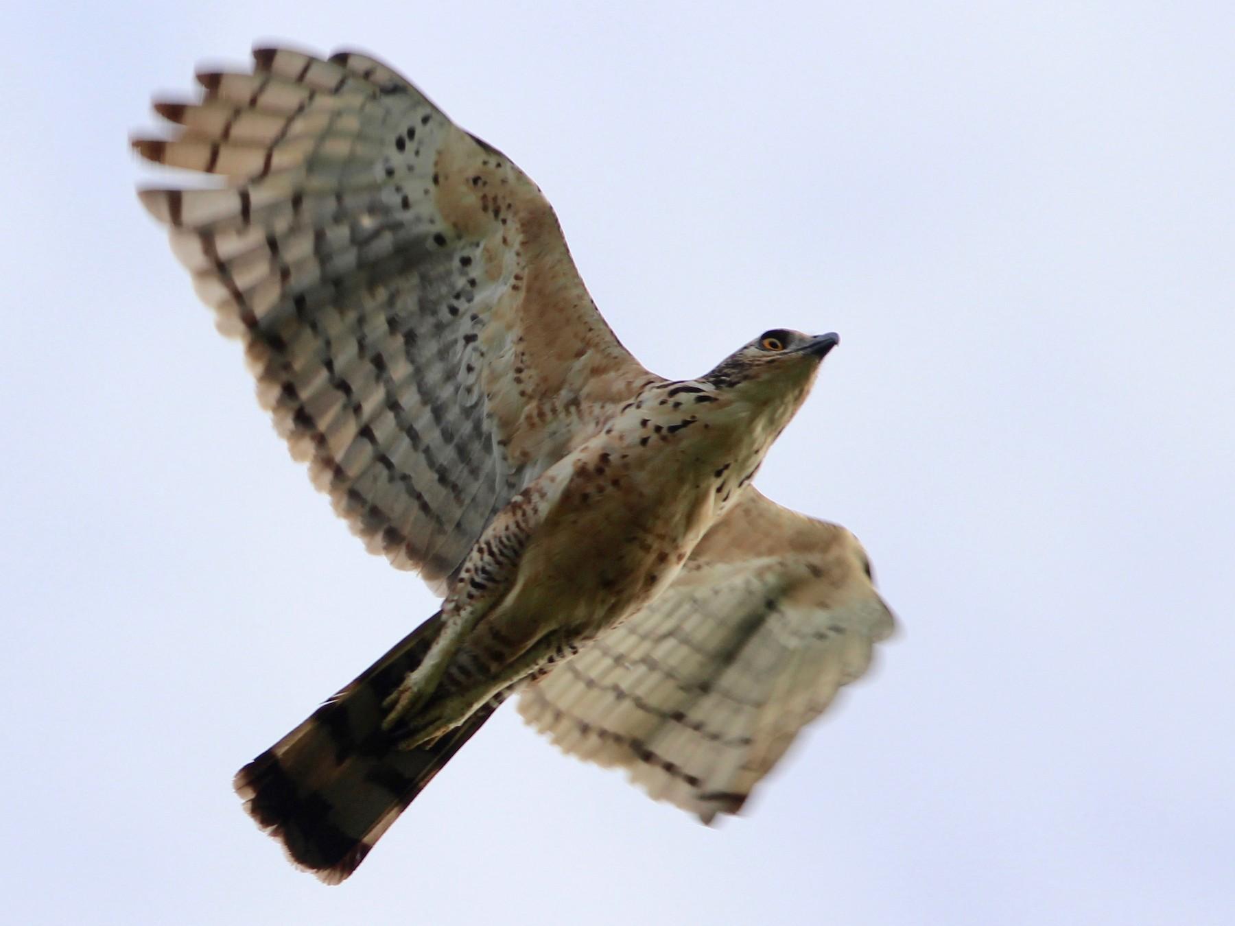 Wallace's Hawk-Eagle - Oscar  Johnson