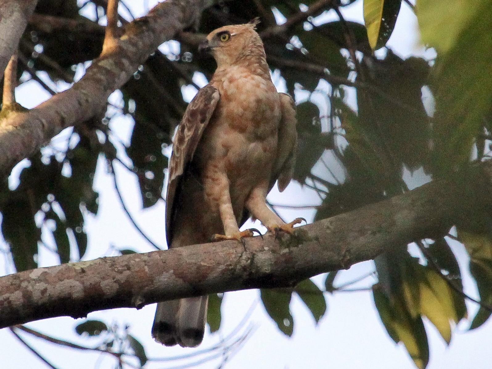 Wallace's Hawk-Eagle - Luis Mario Arce