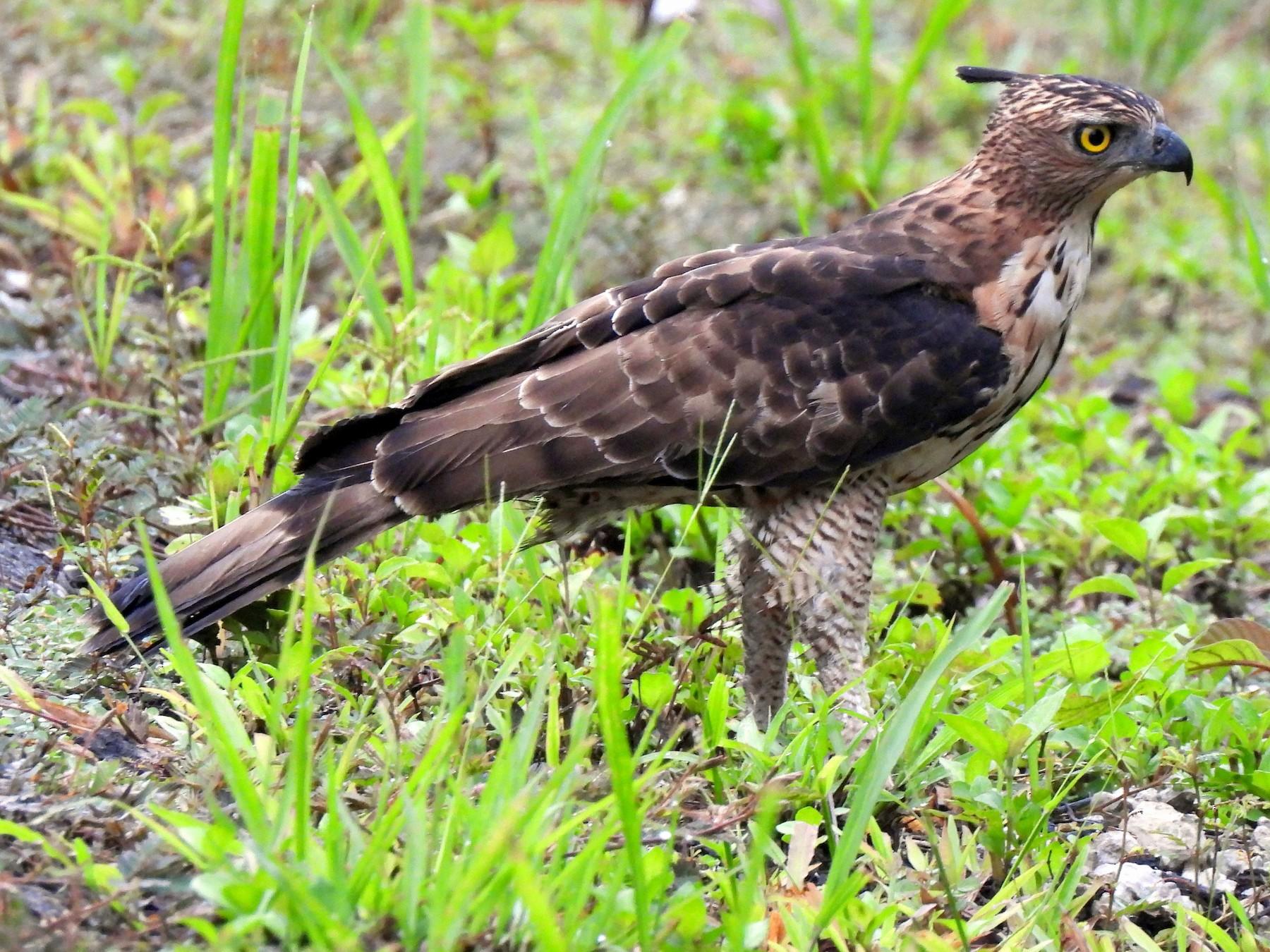 Wallace's Hawk-Eagle - Chris Burwell