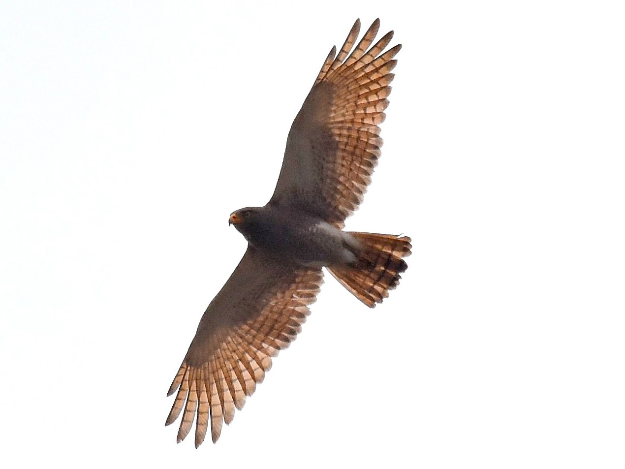 Rufous-winged Buzzard - Lukasz Pulawski
