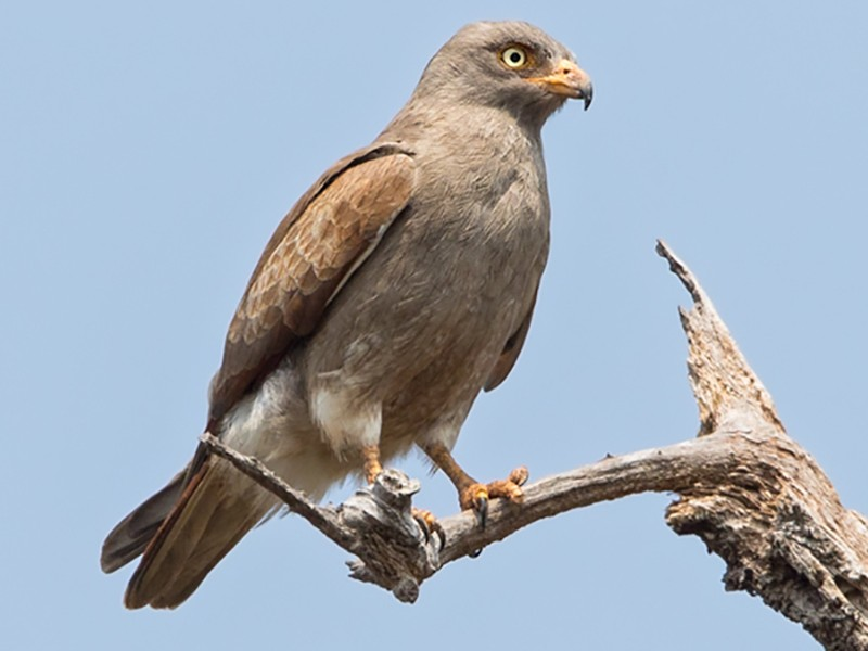 Rufous-winged Buzzard - Dubi Shapiro