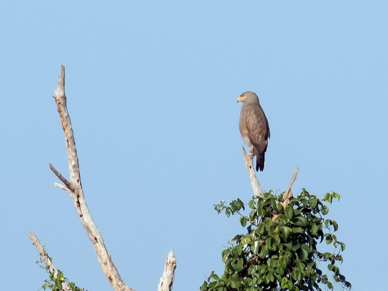 Rufous-winged Buzzard - Pattaraporn Vangtal