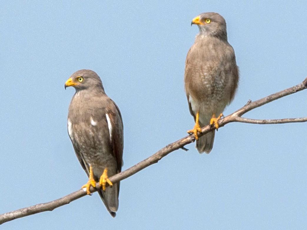 Rufous-winged Buzzard - Rachata Kietsirikul