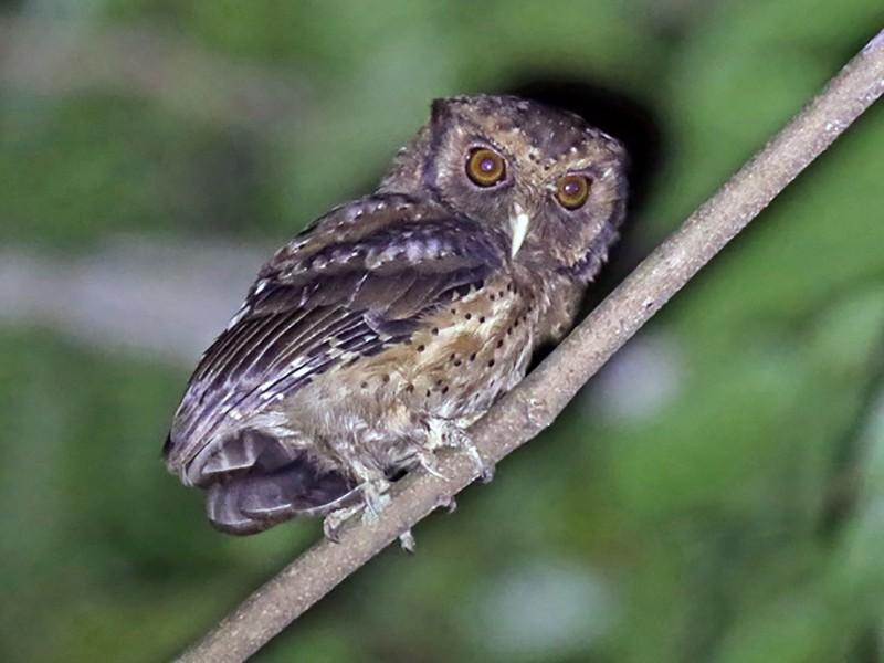 Reddish Scops-Owl - Stijn De Win