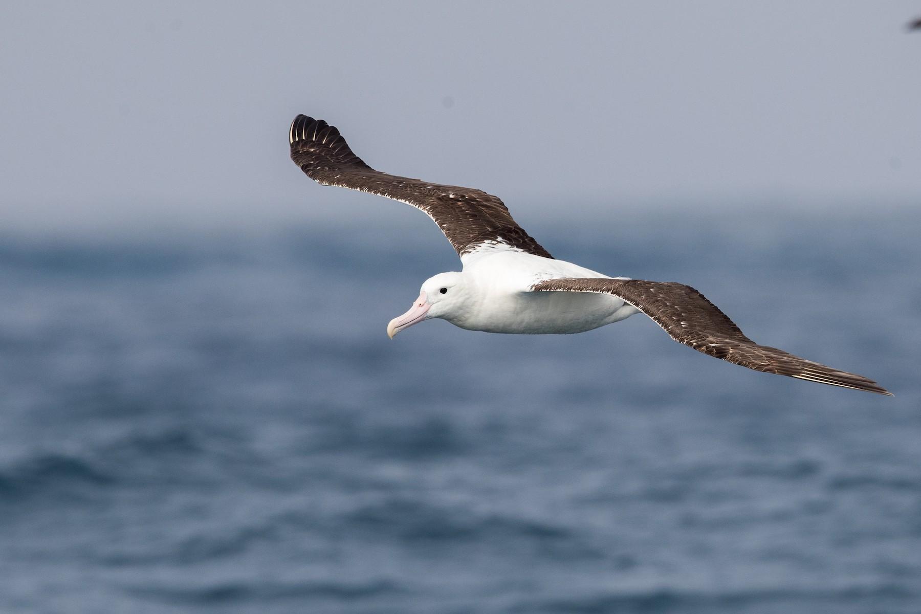 Royal Albatross (Northern) - yann muzika