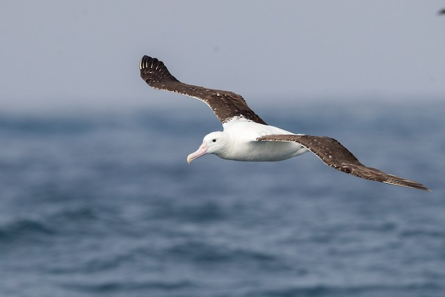 Royal Albatross (Northern)