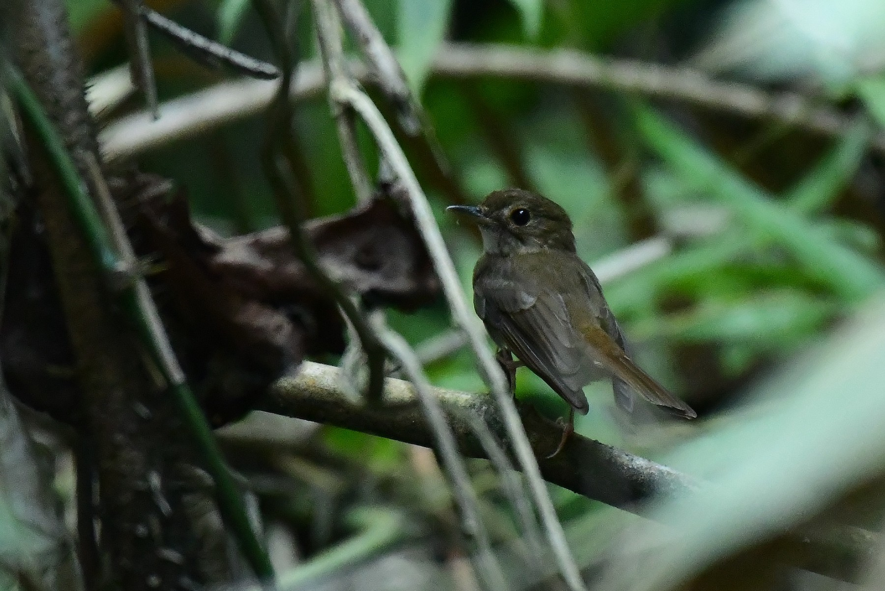 Nicobar Jungle-Flycatcher - Dr Jishnu R