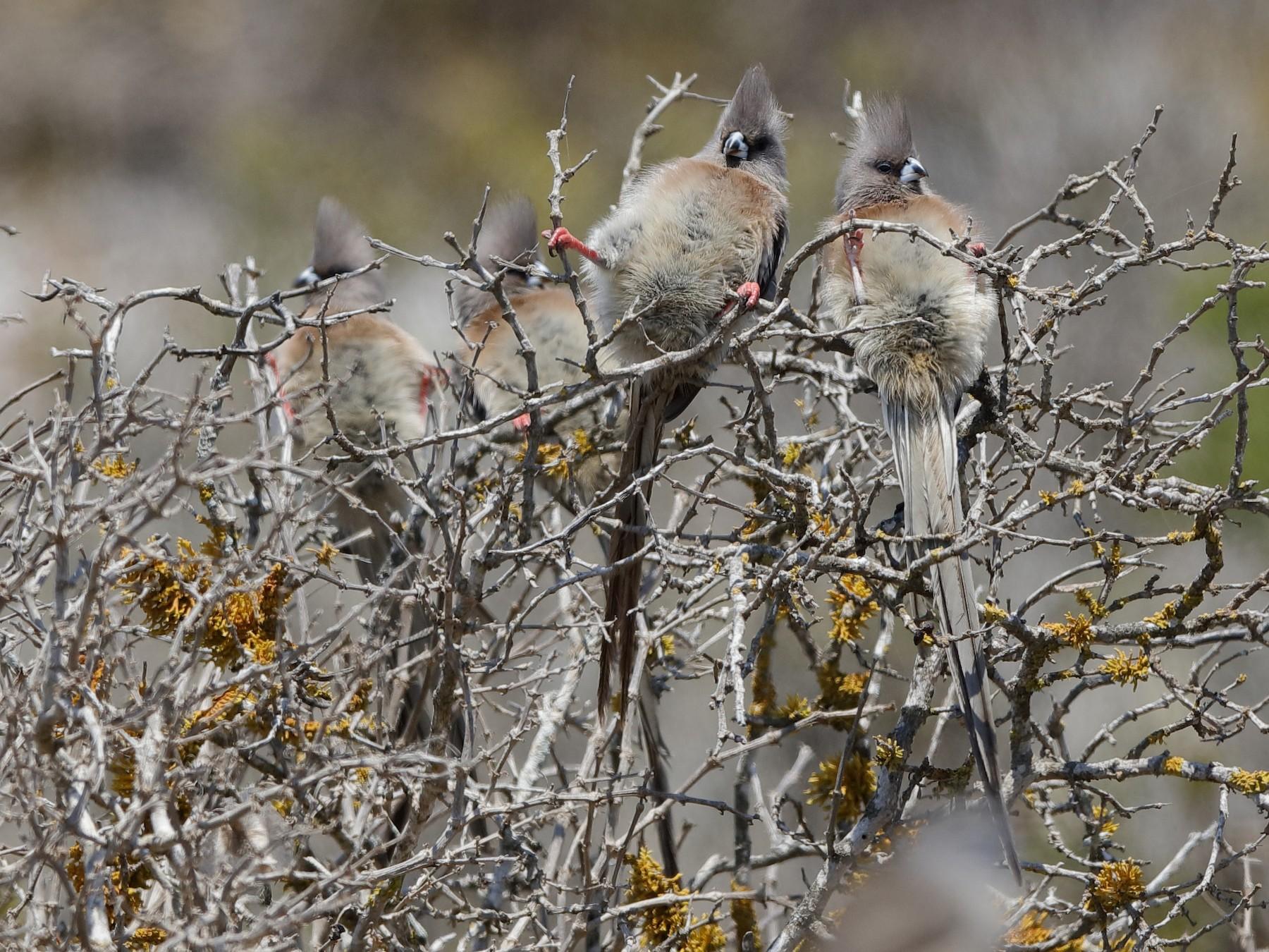 White-backed Mousebird - Holger Teichmann