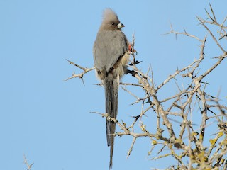- White-backed Mousebird