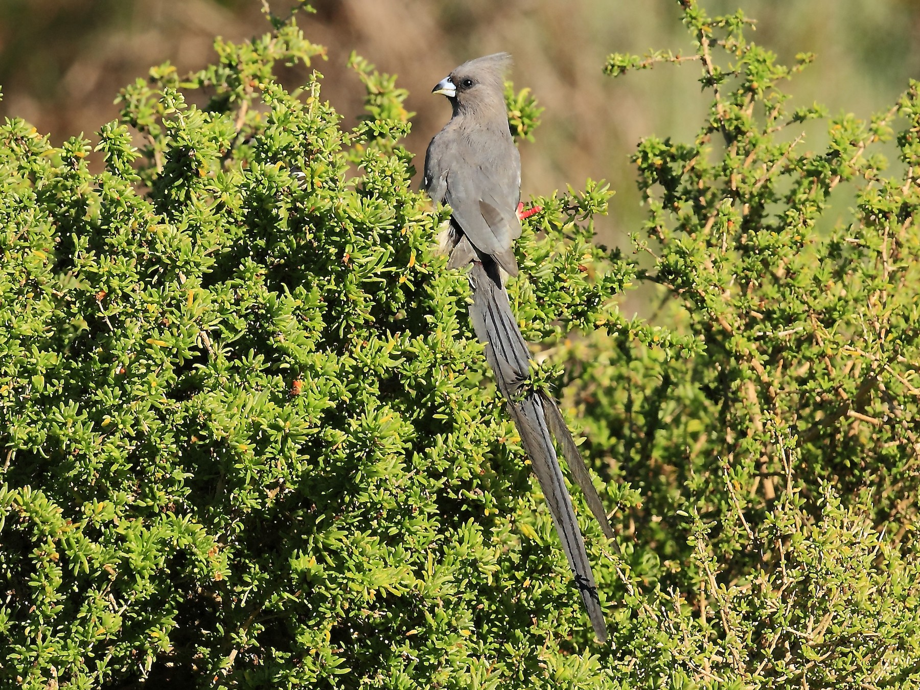 White-backed Mousebird - Loutjie Steenberg