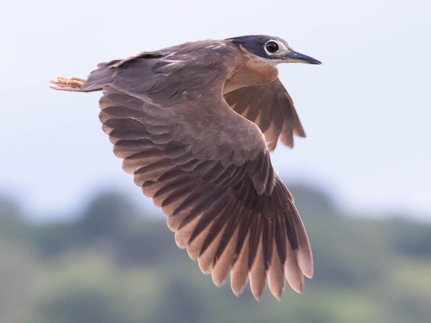 White-backed Night-Heron - Richard Webber