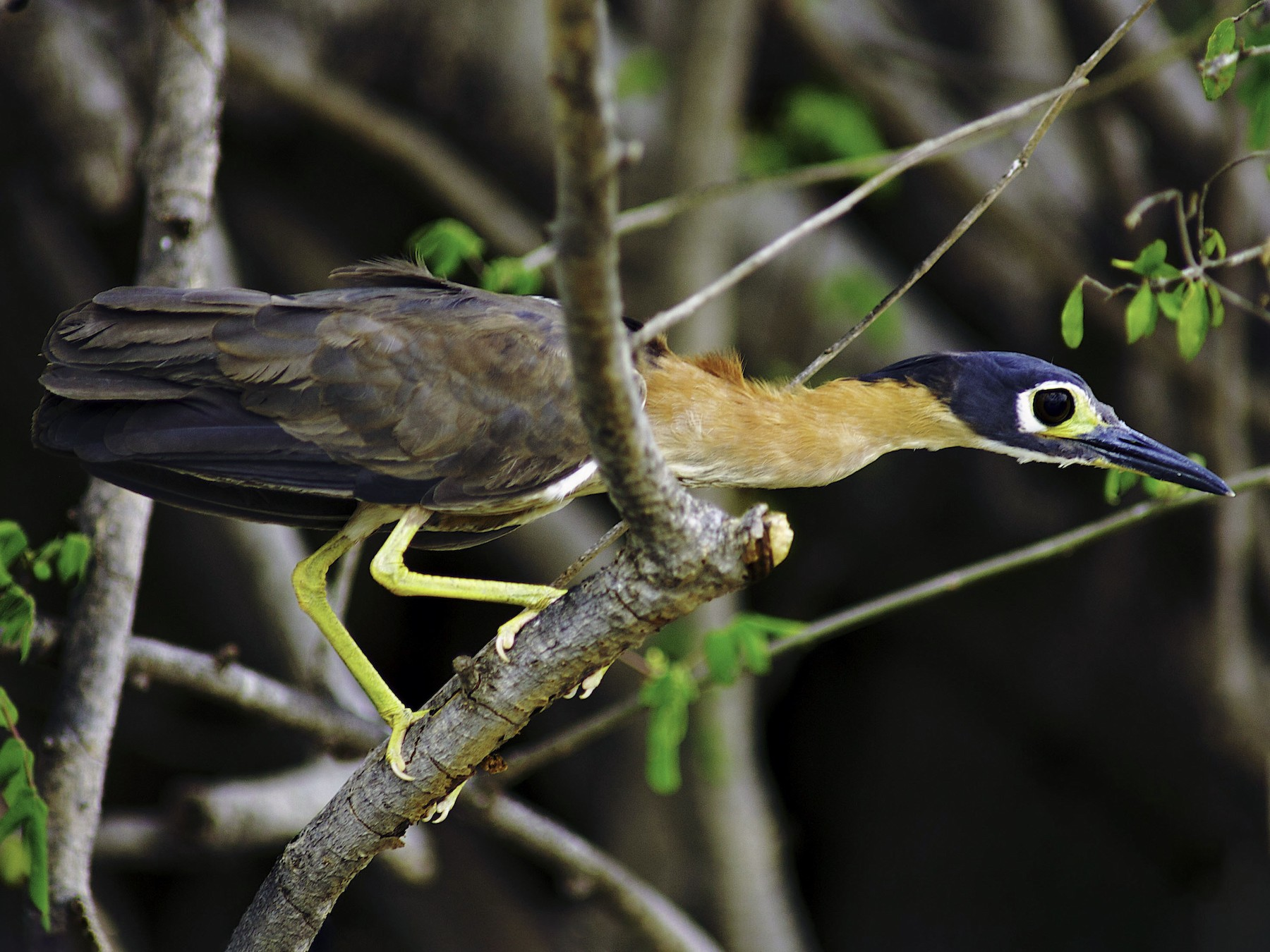White-backed Night-Heron - Roland Bischoff