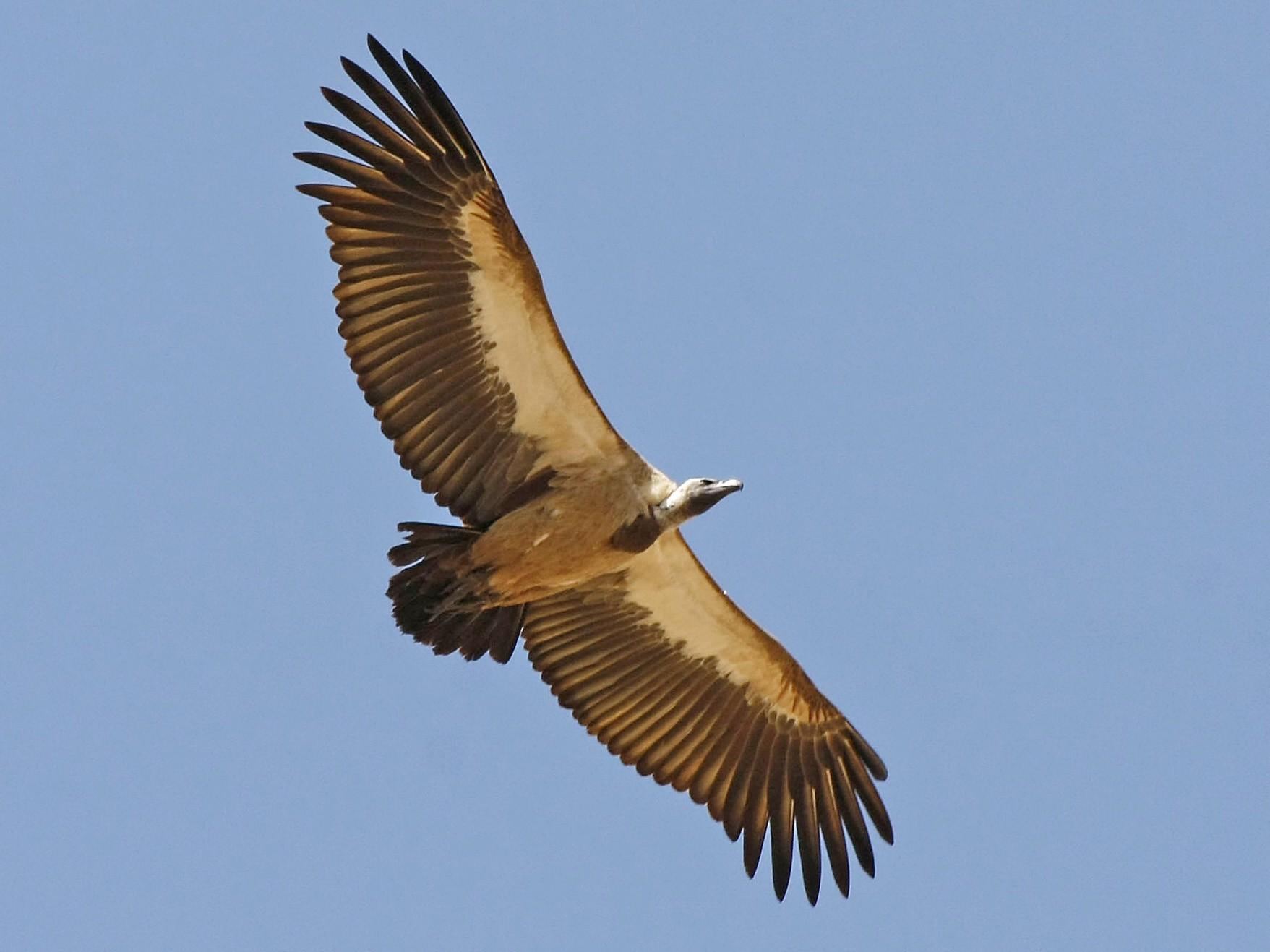 White-backed Vulture - David Beadle