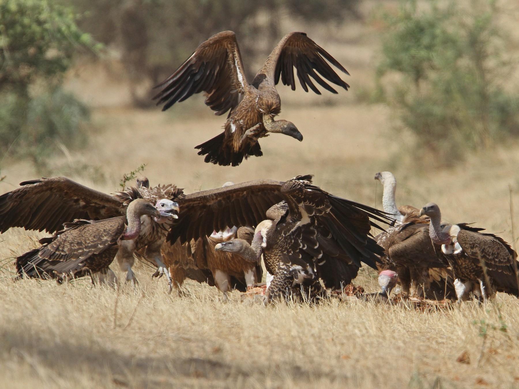 White-backed Vulture - Christoph Moning