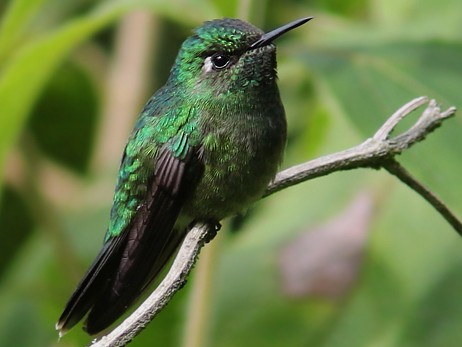 Emerald-chinned Hummingbird - Amy McAndrews