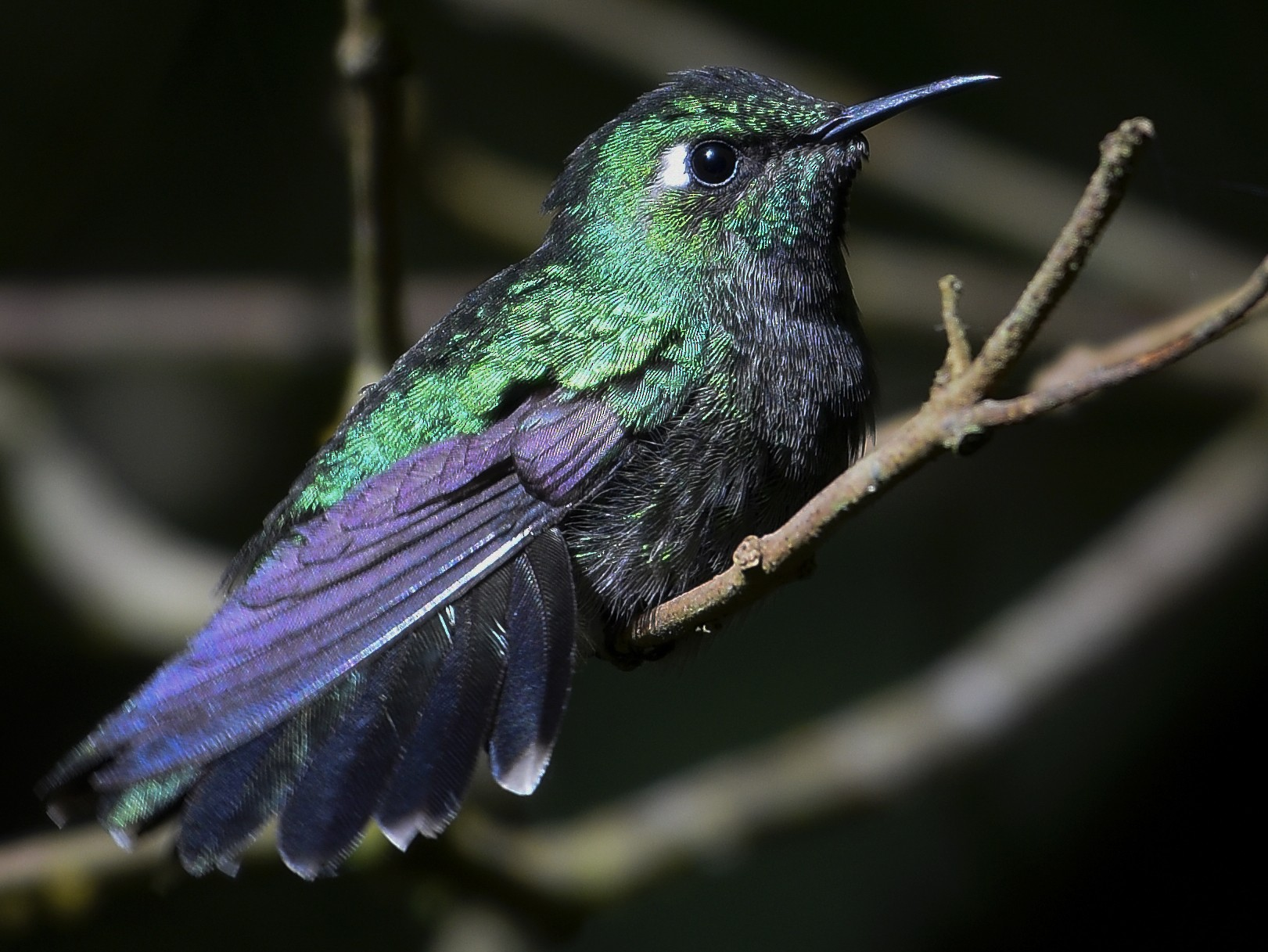 Emerald-chinned Hummingbird - Carlos Echeverría