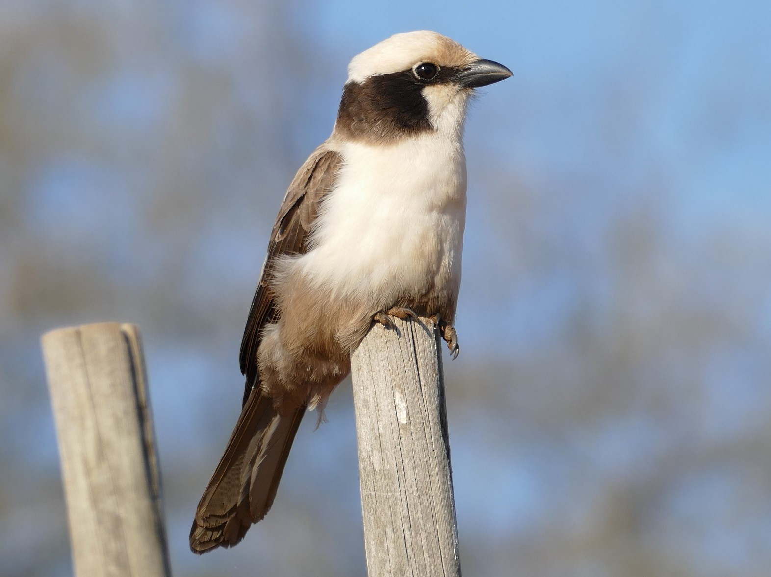 White-crowned Shrike - Raymond Marsh