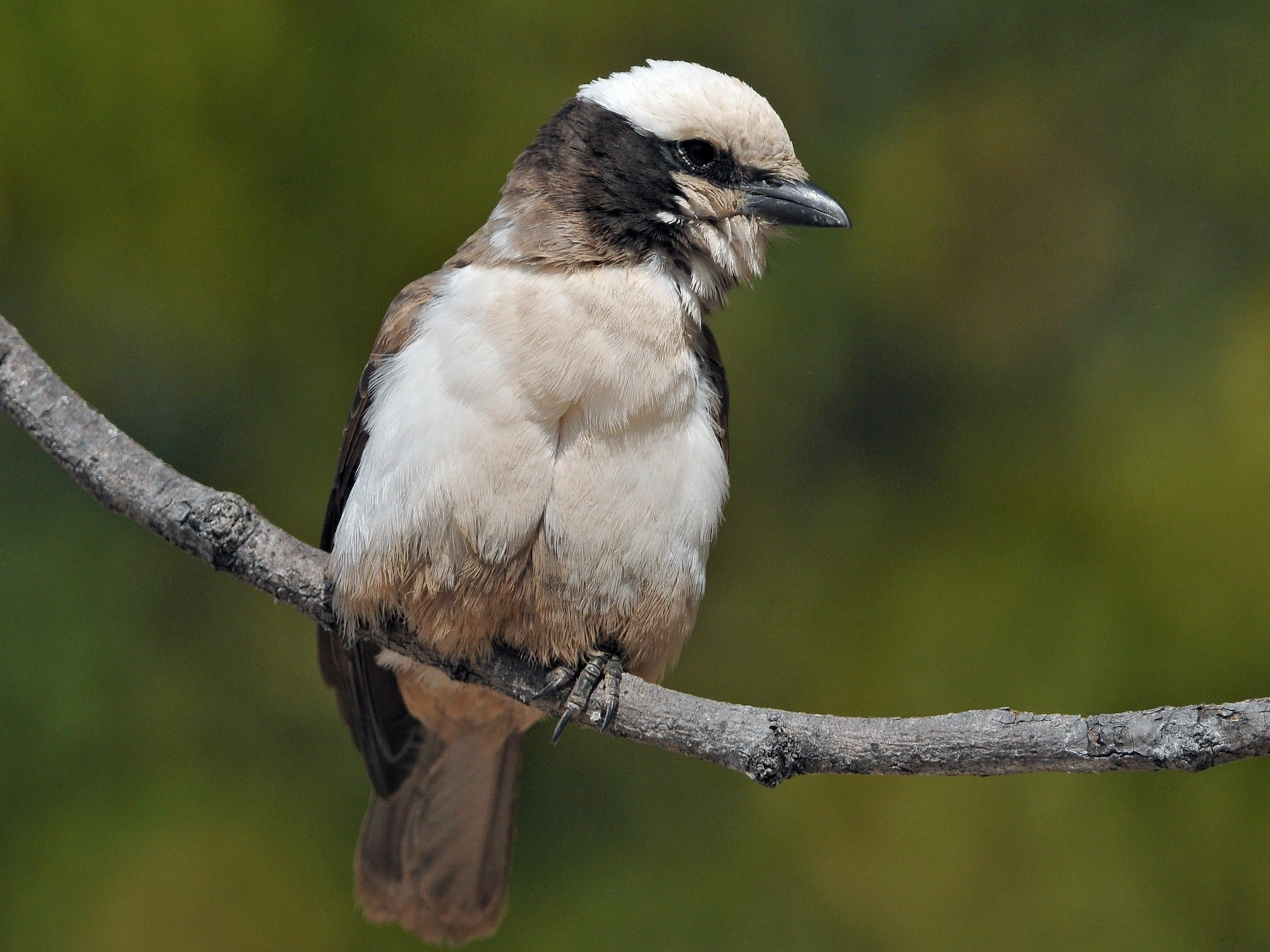 White-crowned Shrike - Tom Heijnen