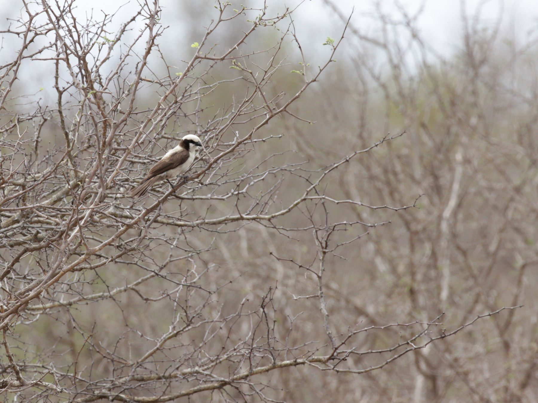 White-crowned Shrike - Doug Korver