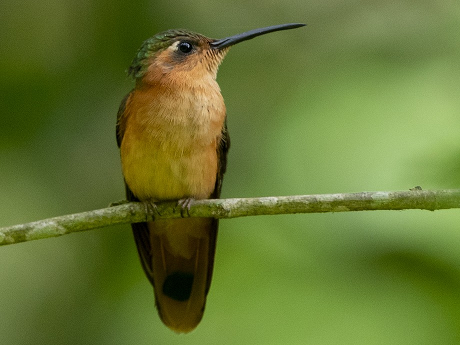 Rufous Sabrewing - Niall D Perrins