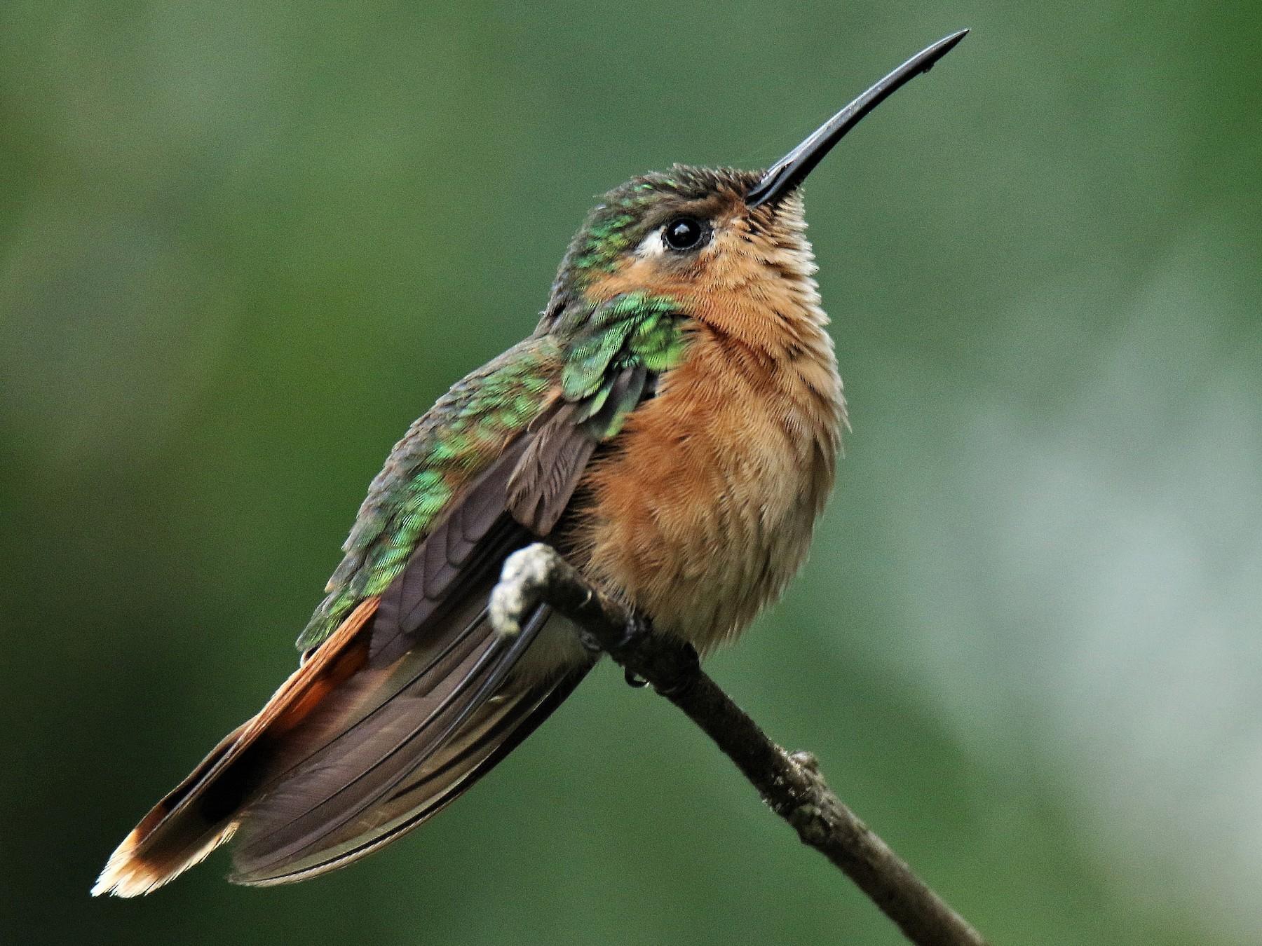 Rufous Sabrewing - Josue  de León Lux (Birding Guide) josuedeleonlux@gmail.com +502 3068 8988