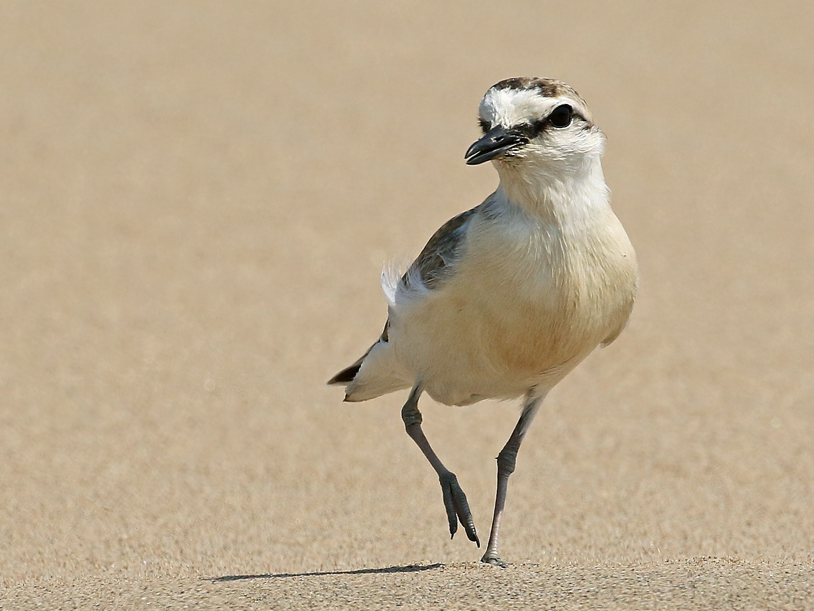 White-fronted Plover - Andrew Spencer