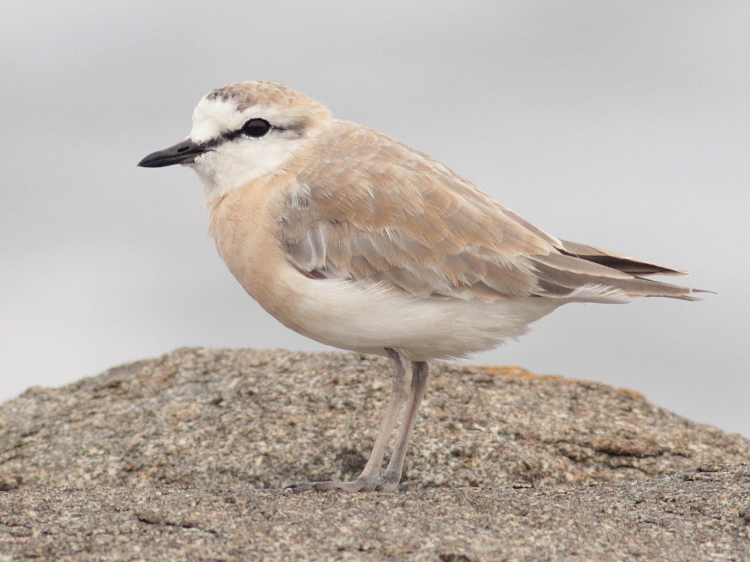 White-fronted Plover - Alex Lamoreaux